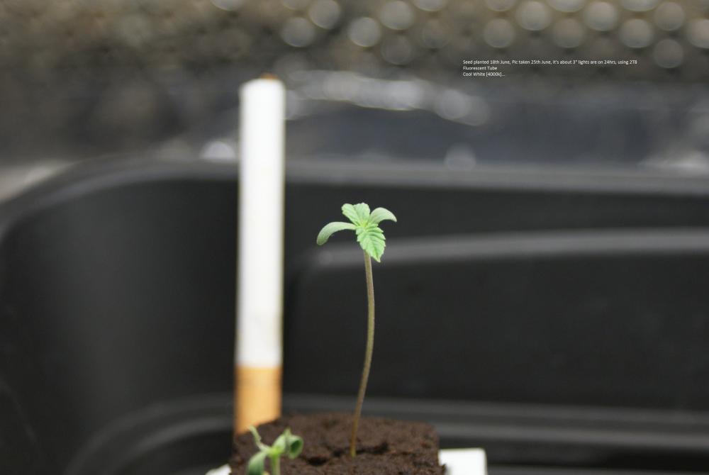 594fd4085122c_Plantedseed18thpictoday25thJune.thumb.JPG.4320ae3ee12a687194a54e2ced4ded15.JPG